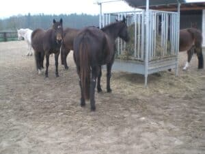 Horses eat hay out of a feeder in a clean and dry paddock